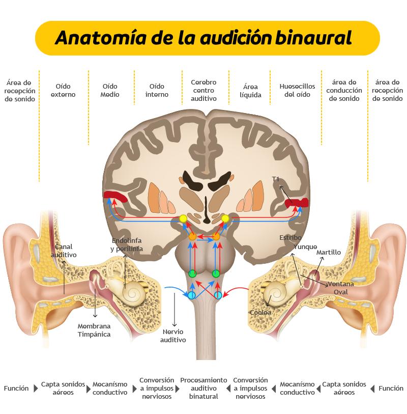 Anatomía de la audición bimodal